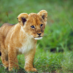 lion cub by Sue Green - Animals Lions, Tigers & Big Cats ( lion cub. masai mara kenya east africa,  )