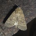 (Noctuidae) Moth