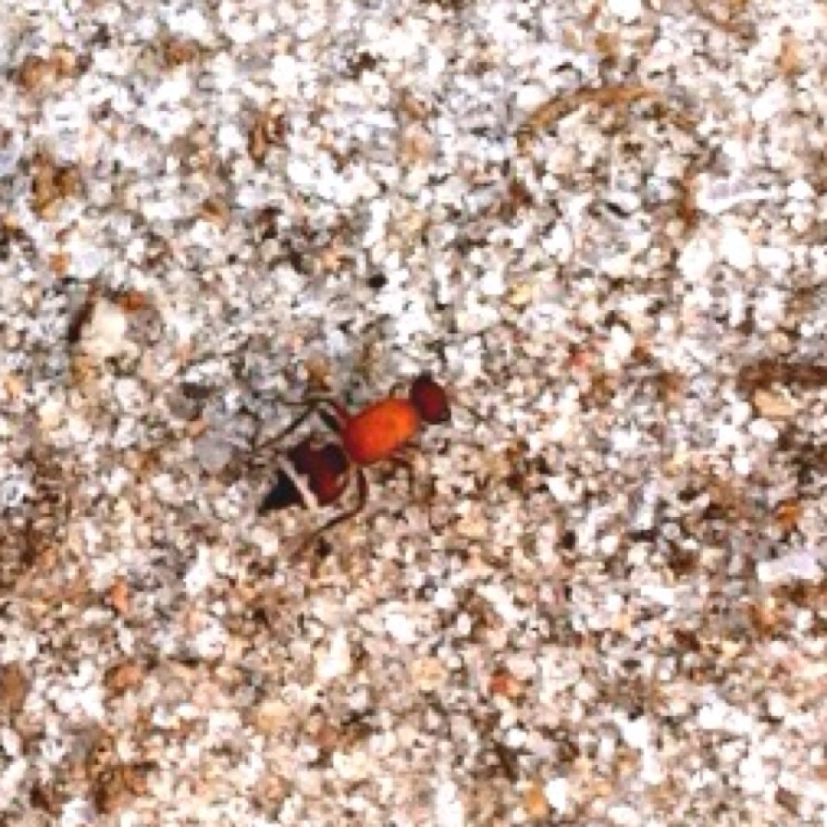 Velvet Ant (female)