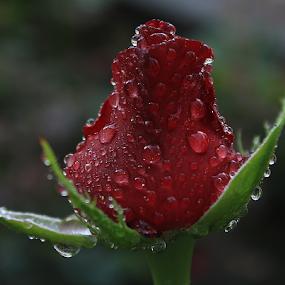Red Rose by Şahin Kaplan - Flowers Single Flower