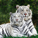 My Little White Tiger LWP icon