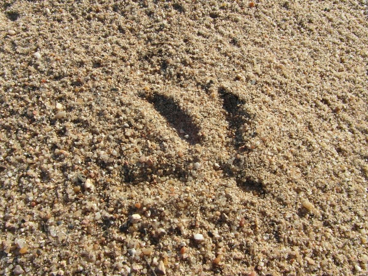 White stork (footprints)