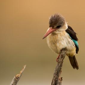 Fishing by Barbara Nolte - Animals Birds ( bird, safari, pilanesberg, south africa, kingfisher, wildlife, african wildlife, africa )