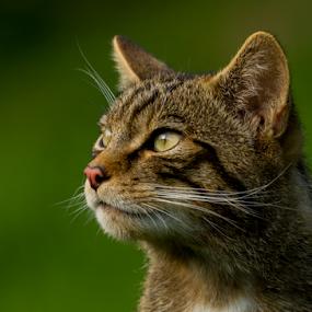 Scottish wildcat (Felis silvestris) by Peter Greenhalgh - Animals - Cats Portraits ( scotland, cat, wildcat, wildlife, scottish, felis silvestris, britain )