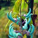 Jade Vine