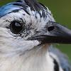 White-throated Magpie-Jay (Urraca Copetona)