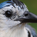 White-throated Magpie-Jay (Urraca Copetona)