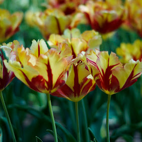 Tulips by Michael Krivoshey - Flowers Flower Gardens ( green, beautiful, yellow, tulips, flowers, garden, flower, , renewal, trees, forests, nature, natural, scenic, relaxing, meditation, the mood factory, mood, emotions, jade, revive, inspirational, earthly )