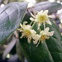 Flores de boldo
