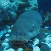 (Smallmouth) Electric catfish