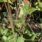 Dragonfly - Common Green Darner