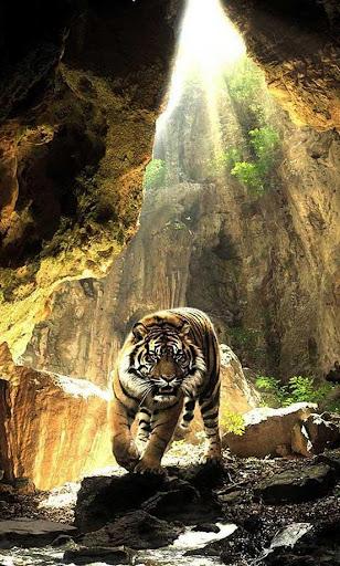 Tigers Sounds live wallpaper