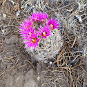 Beehive cactus