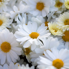 Daisies by Vikram Mehta - Flowers Flower Gardens ( fragrance, nature, daisies, white, summer, daisy, happiness, beauty, flowers )