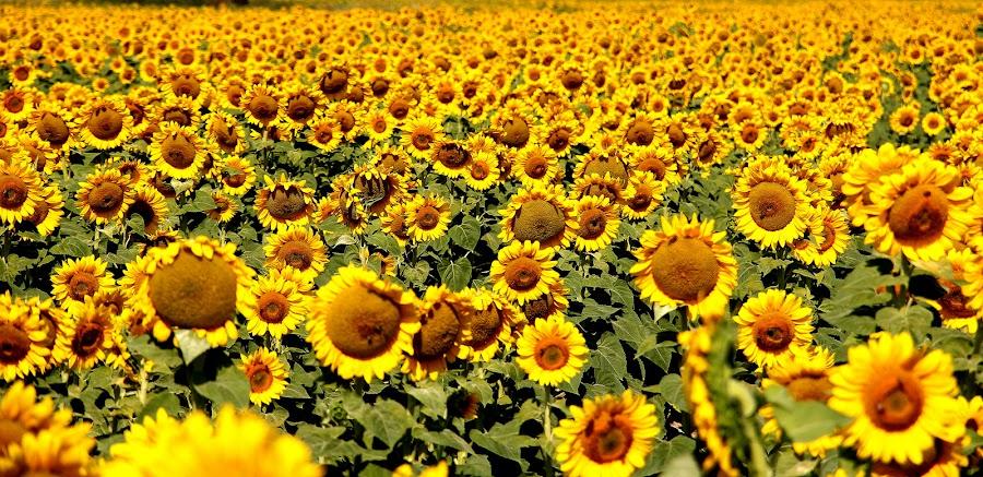 Sunflower by Milan Petek Levokov - Flowers Flowers in the Wild