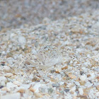 Baby Crab Camouflaged as Sand