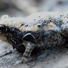 Asian Painted Frog( Banded Bull Frog)