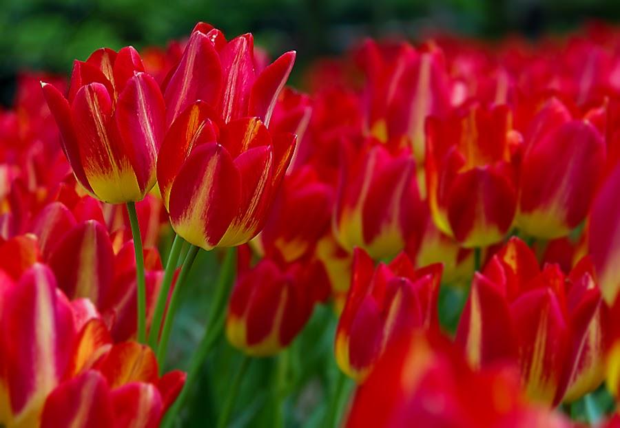 by Adeline Tan - Flowers Flower Gardens ( keukenhof, holland, tulips, flowers, garden, netherlands,  )