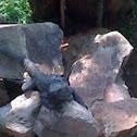 iguana negra
