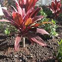 Kiʻi/ Red ti leaf