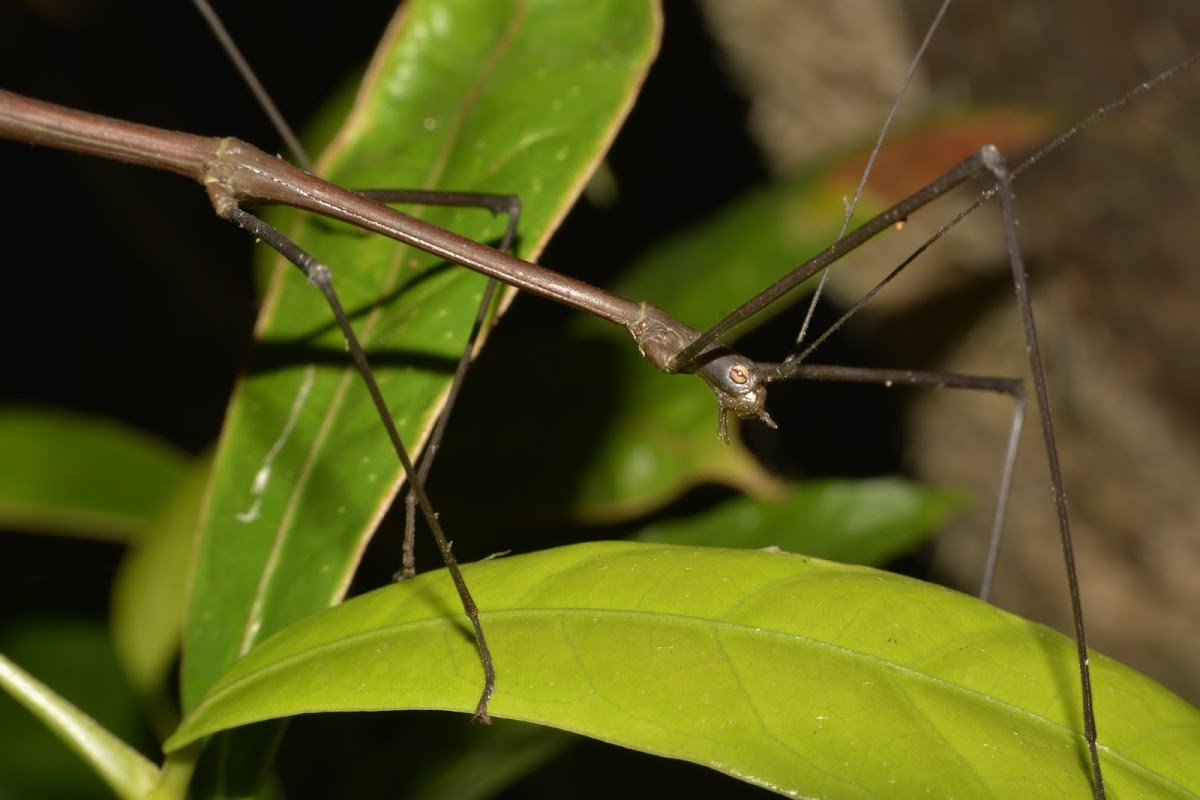 Stick Insect - Male