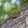 Black Locust Borer