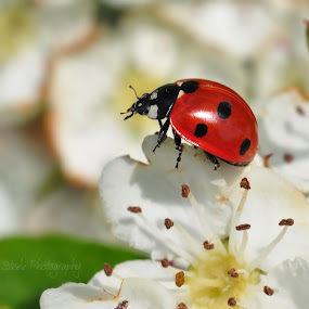 Ladybird by Tony Steele - Animals Insects & Spiders ( ladybird insect beetle )
