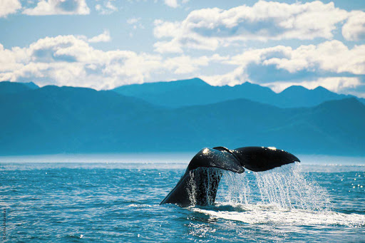 Silversea-Silver-Discoverer-whale-tale - See real whales up close when you sail to New Zealand with Silver Discoverer.