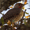 Northern Flicker (red x yellow shafted)