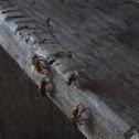 Meliponini (stingless bee)