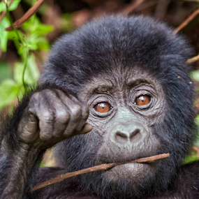 Mountain Gorilla Baby by Tim Vollmer - Animals Other Mammals ( uganda, mountain, gorilla, baby )