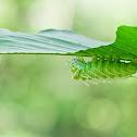 Atlas Moth Larva
