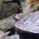 Red-headed Amazon River Turtle
