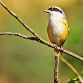 long tail shirke by Pravin Dabhade - Animals Birds ( canon, long tail shirke, nature, close up, birds, animal )