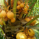 Coconut/Kokosnoot