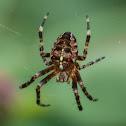 Garden spider (juvenile female)