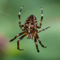 Spiders of the British Isles