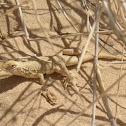 Mojave Fringe toed lizard