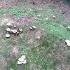 Faerie ring mushrooms