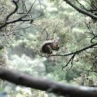 Grey Guatemalan Squirrel
