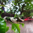 Queen Swallowtail caterpillar - Lagarta língua-de-cobra