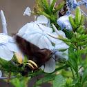 Nessus Sphinx (Hummingbird Moth)
