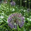 Globe Allium