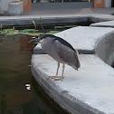 black crowned heron