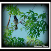 Red Wented Bulbul