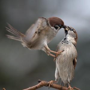 passer-sparrow-006.jpg