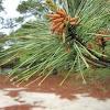 Eastern Pine Tree