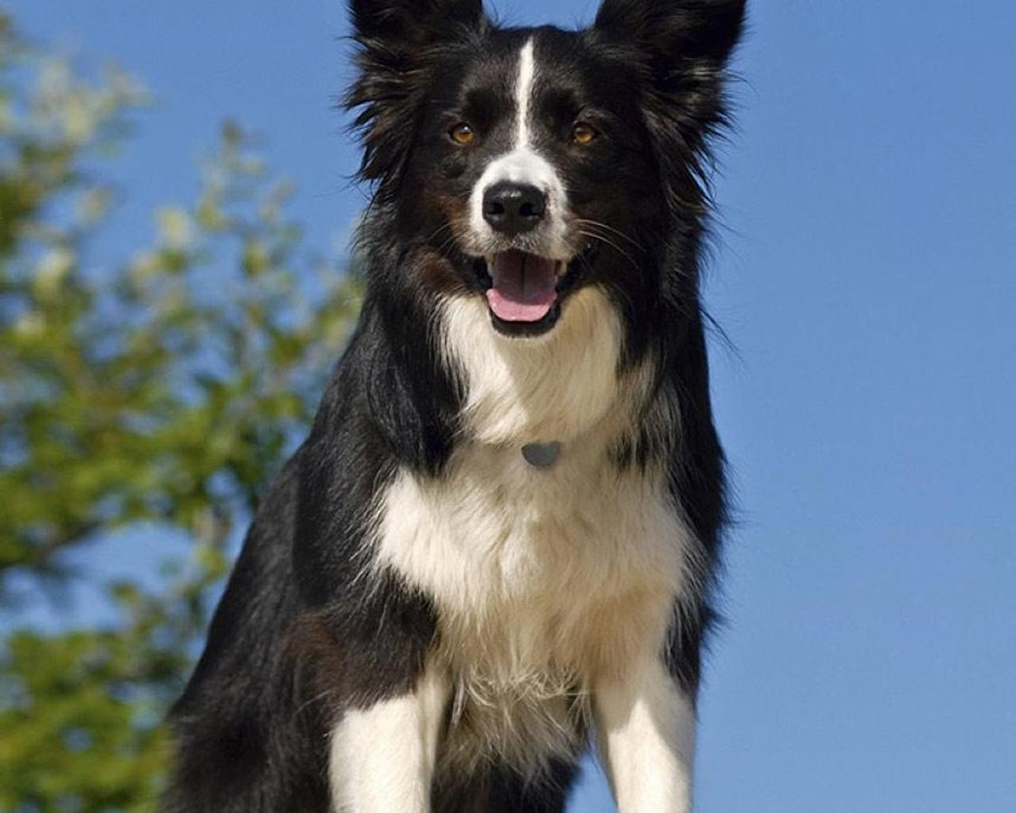 G And H Border Collies Border Collie Jigsaw P...