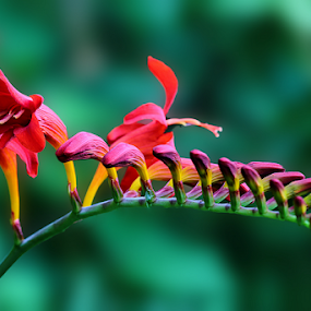 by Dipali S - Flowers Flower Arangements ( red, lily, nature )