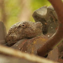 Gray Tree Frog (a pair)